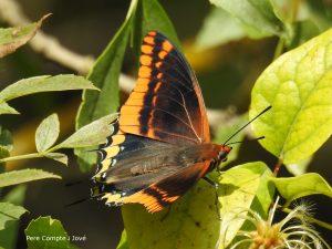 papallona arboc DSCN1614pcj